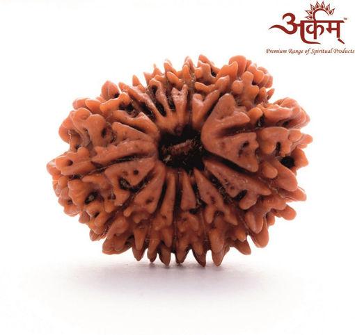 Picture of ARKAM Premium 14 Mukhi Rudraksha / Original Nepali Fourteen Mukhi Rudraksha / Natural 14 faced Rudraksha (Brown) with detailed Puja and wearing instructions