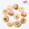 Picture of Arkam Gomti Chakra / Gomati Chakra / White Gomti Chakra / Original Premium Quality for Puja 22-25 mm - Set of 11 Pcs